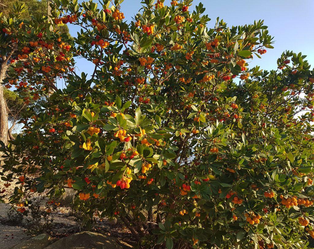 Arboç en el camí a la creu del Montcabrer. Alguns fruits, grocs, encara no estan madurs. Diuen que amb la seva fusta pots foragitar el mal averany